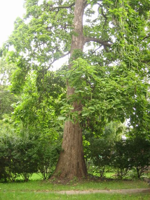 big-catalpa-tree